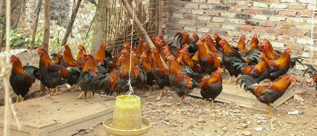 Trại nuôi gà Mía của gia đình ông Thức.