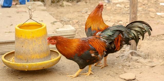 Ông Thức nuôi gà đảm bảo vệ sinh chuồng trại.