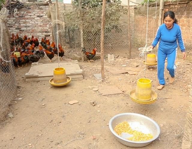 Gà đến giai đoạn chuẩn bị xuất chuồng, nên bà Đặng Thị Tám ( vợ của ông Thức) chủ yếu cho gà ăn ngô hạt.