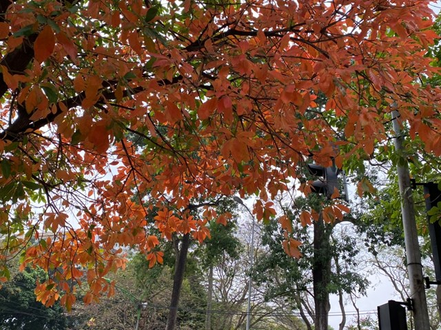 Góc phổ được nhuộm màu bởi những tán cây lộc vừng. Ảnh: Lan Anh.