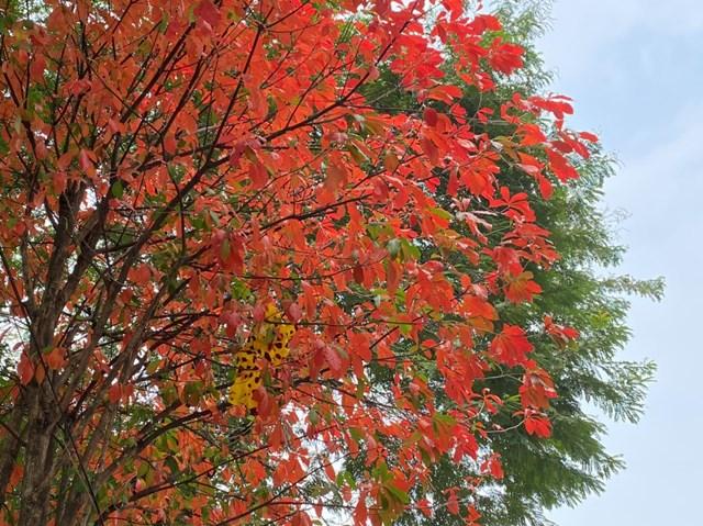 Những tán cây lộc vừng vàng rực mà ngỡ như mùa lá bàng đỏ. Ảnh: Lan Anh.