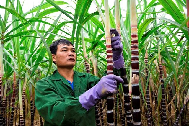 Chất lượng cây mía tím kém, là nguyên nhân chính dẫn đến tình trạng thương lái từ chối mua hàng.