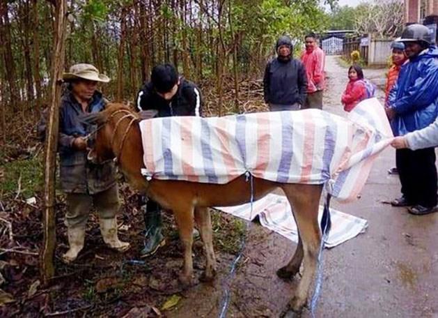 Người dân huyện A Lưới (tỉnh Thừa Thiên-Huế) dùng bạt để giữ ấm cho trâu bò trong những ngày mưa rét. Ảnh: Minh An.