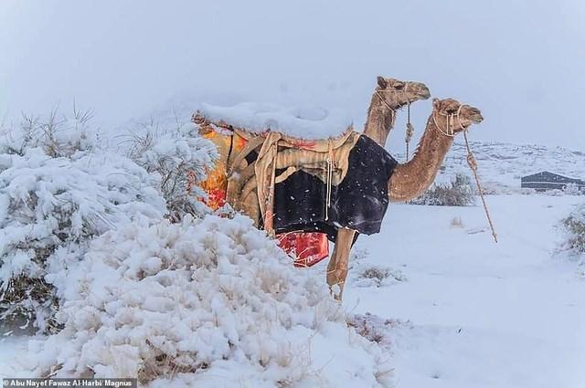 Lạc đà ở Ả rập Xê út trong băng tuyết. Ảnh: Magnus News.