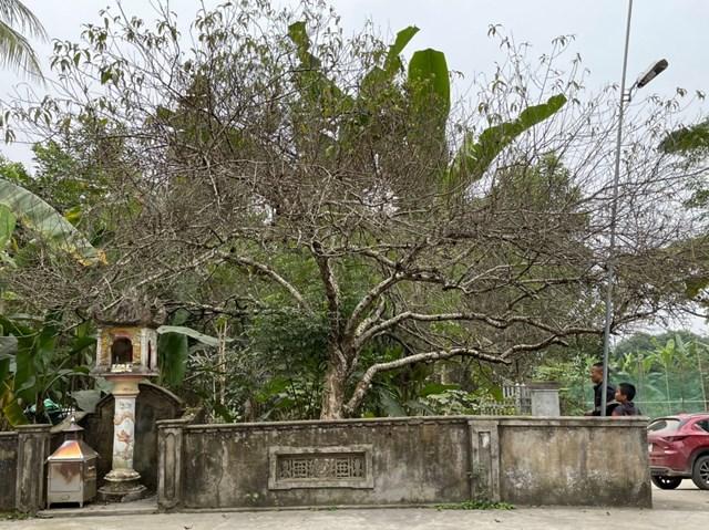 Gốc đào có giá hơn 100 triệu đồng của gia đình chị Thương tại Vinh.