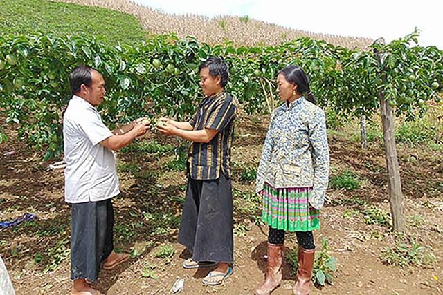 Mô hình trồng cây chanh leo, mận hậu trên đất dốc đã mang lại hiệu quả kinh tế cao.