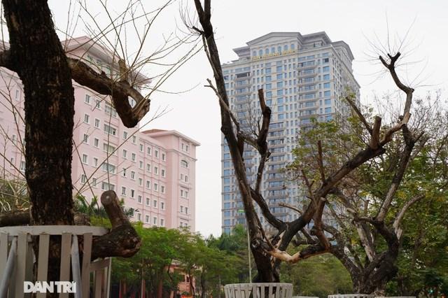 Theo ghi nhận của phóng viên, nhiều cây sưa đỏ tại đây đã trơ trụi lá, mục nát từ thân xuống gốc cây. Một số cây đã bị bong tróc vỏ, trơ lõi, không còn khả năng sống sót.
