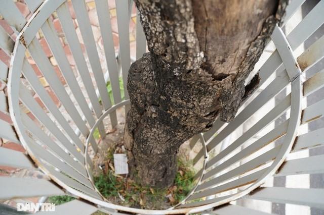 Theo Ban QLDA Đầu tư xây dựng công trình giao thông Hà Nội cho biết, qua nhiều đợt kiểm tra, đánh giá (các ngày: 6/8/2020; 22/9/2020; 5/10/2020; 29/1/2021) tình trạng cây Sưa sau dịch chuyển của Dự án, đến nay hiện có 07 cây Sưa đã chết và 25 cây sinh trưởng ổn định.