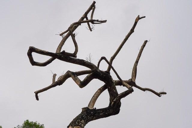 Trường hợp cơ quan chức năng xác định là cây gỗ quý hiếm giao cho Sở Xây dựng cấp giấy phép chặt hạ các cây gỗ quý hiếm và phối hợp đơn vị chức năng của Sở Xây dựng để đo đạc, thu hồi về kho của Công ty TNHH MTV công viên cây xanh bảo quản để thực hiện bán đấu giá theo quy định (đối với cây bị chết).