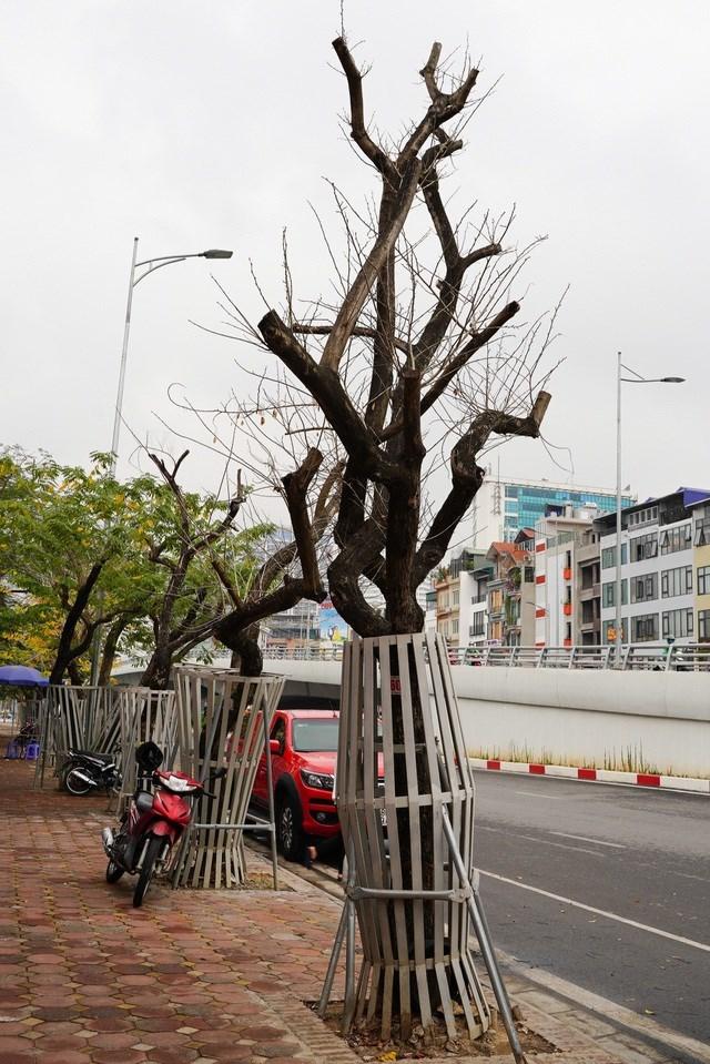 Cũng theo văn bản của Sở Xây dựng TP Hà Nội, đối với các trường hợp cây bị chết cần trồng thay thế, giao Ban QLDA phối hợp với nhà thầu thi công trồng thay thế bằng cây Giáng Hương để đồng bộ với hiện trạng cây Sưa sau dịch chuyển.