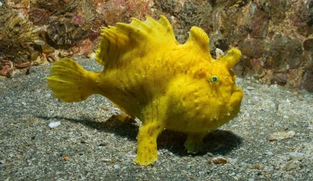 Cá ếch có thể đi lại trên vây của chúng. Vây ngực của loài cá này rất độc đáo và có thể được sử dụng để chạy nước kiệu dưới đáy đại dương.