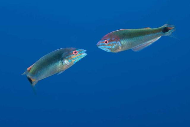 Cá Hermaphrodite là loài lưỡng tính, sinh ra với khả năng thay đổi giới tính của mình, nếu cần thiết, một con cá cái sẽ trở thành cá đực để cải thiện cơ hội sinh sản của chúng.