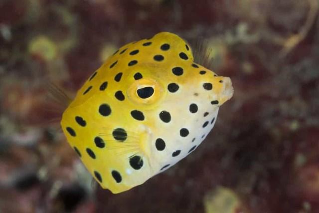 Cá hộp không có bộ xương như các loài cá khác. Theo nghĩa đen, chúng được tạo thành từ một chiếc xương hình hộp có miệng, mắt và vây thò ra ngoài.