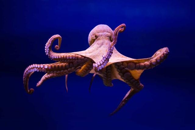Những con bạch tuộc đực bị bỏ rơi vĩnh viễn sau khi chúng giao phối với một con cái, quá trình này khiến chúng mắc chứng mất trí nhớ.