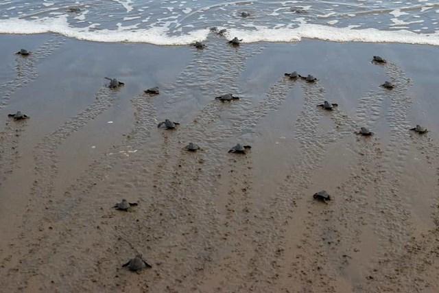 Rùa biển có xu hướng quay trở lại bãi biển giống như mẹ của chúng để đẻ trứng.