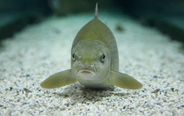 Nhiều loài cá xương có nhiều hơn một bộ lỗ mũi. Lỗ mũi của chúng không phải để thở mà chỉ để ngửi, cho phép chúng phát hiện những kẻ săn mồi dễ dàng hơn. Vì vậy, chúng có càng nhiều lỗ mũi càng tốt.