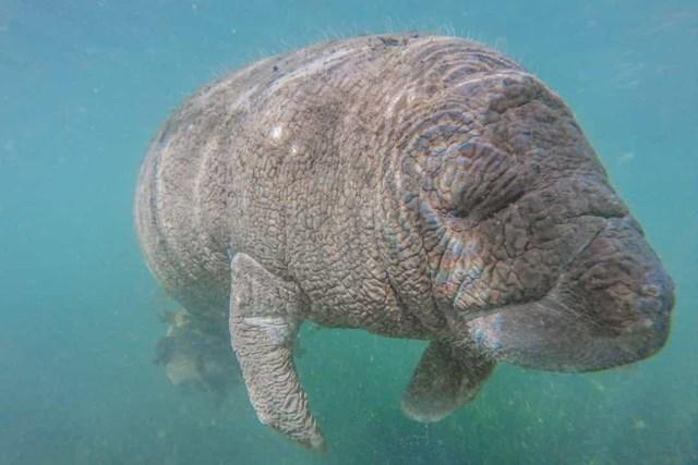 Mặc dù lợn biển có bề ngoài tương tự như cá heo và cá voi, nhưng chúng thực sự có quan hệ họ hàng gần với voi hơn.