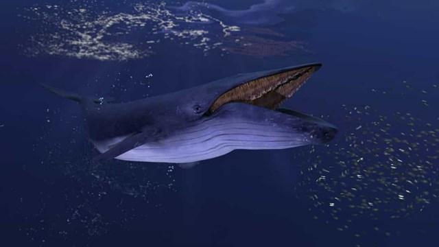 Cơ thể một con cá voi xanh có thể nặng tới 173 tấn, riêng lưỡi của chúng có thể nặng tới 8 tấn, nặng hơn một con voi.