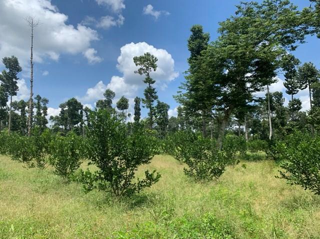Đất rừng âm thầm chuyển thành đất trồng quýt.