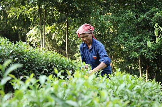 Cây chè góp phần nâng cao thu nhập của người dân xã Phú Nhuận. Ảnh: Quang Vinh.