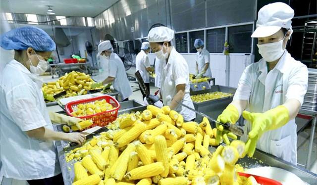 Dây chuyền hiện đại chế biến ngô ngọt xuất khẩu tại Công ty Vifoco (xã Song Khê, thành phố Bắc Giang). Ảnh: Vũ Sinh/TTXVN.