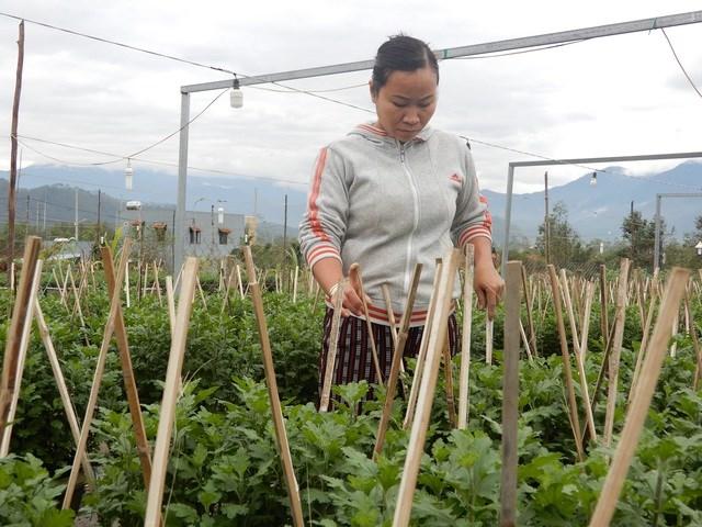 Năm nay, dự đoán tình hình đời sống người dân khó khăn do dịch Covid-19 nên các nhà vườn xuống giống ít hơn năm ngoái.