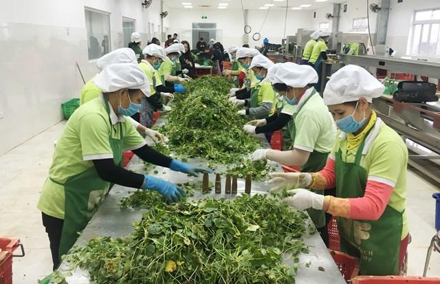 Rau má cũng đã trở thành mặt hàng nông sản xuất khẩu.