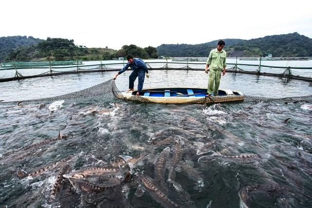 Người dân Sơn La nuôi cá tầm giữa lòng hồ thủy điện. Ảnh: Gia Chính.