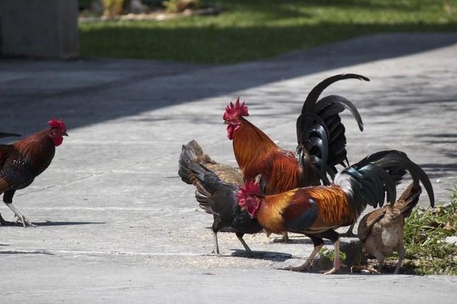 Lạ lùng hòn đảo bị hàng nghìn con gà hoang 'xâm chiếm' - Ảnh 1