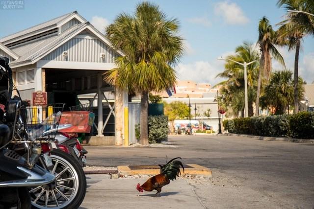 Lạ lùng hòn đảo bị hàng nghìn con gà hoang 'xâm chiếm' - Ảnh 4
