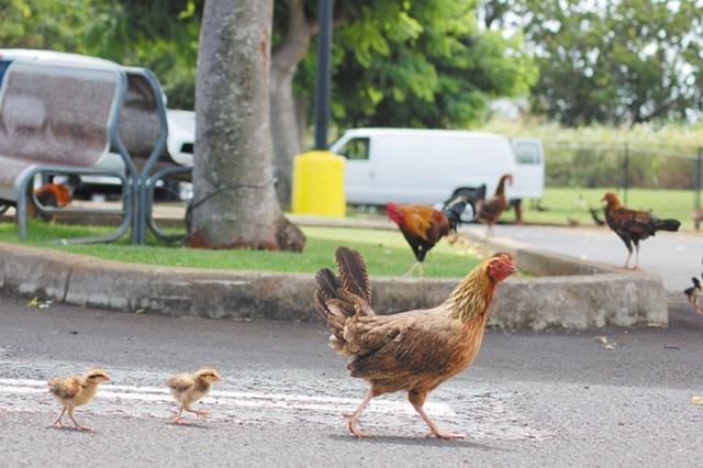 Lạ lùng hòn đảo bị hàng nghìn con gà hoang 'xâm chiếm' - Ảnh 5