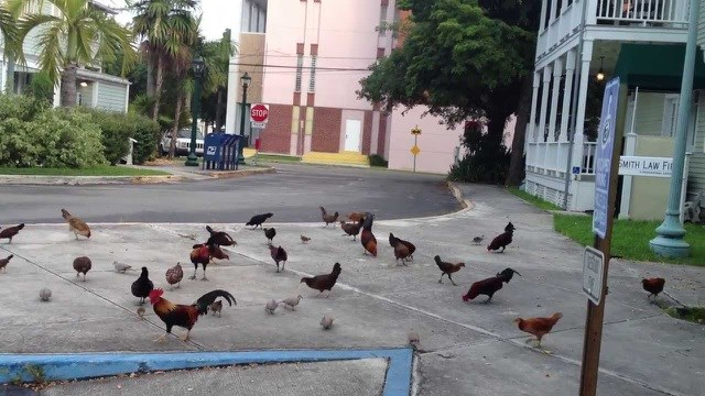 Lạ lùng hòn đảo bị hàng nghìn con gà hoang 'xâm chiếm' - Ảnh 8