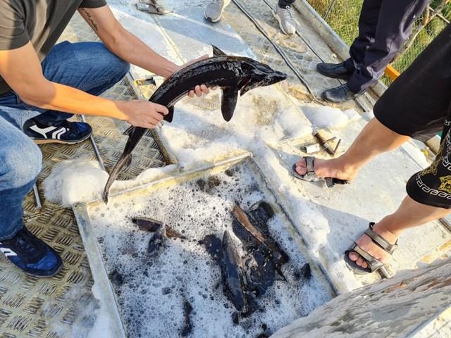 Cơ quan chức năng kiểm tra cá tầm nhập từ Trung Quốc qua cửa khẩu Hữu Nghị, Lạng Sơn.