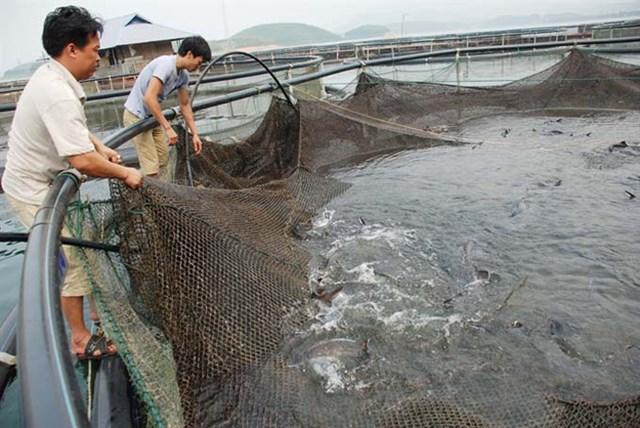 Người dân nuôi cá tầm tại khu vực Hồ Thác Bà (Yên Bái) gặp nhiều khó khăn khi cá tầm Trung Quốc giá rẻ tràn vào thị trường nội địa.