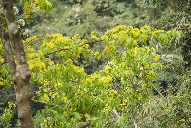 Tháng 2 âm lịch là thời điểm hoa mai vàng nở rộ.