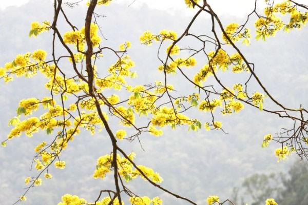 Mai vàng Yên Tử tập trung chủ yếu ở khu vực chùa Hoa Yên, chùa Một Mái, chùa Vân Tiêu, chùa Bảo Sái.