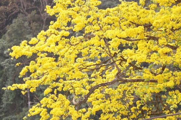 Tại Yên Tử có những cây vàng đã hơn 700 tuổi.