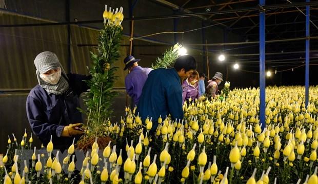 Nhà vườn hoa tại Đà Lạt thu hoạch cả đêm để phục vụ nhu cầu của khác trong dịp Tết.