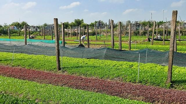 Người trồng rau tỉnh Thừa Thiên-Huế gặp khó do giá giảm sâu.