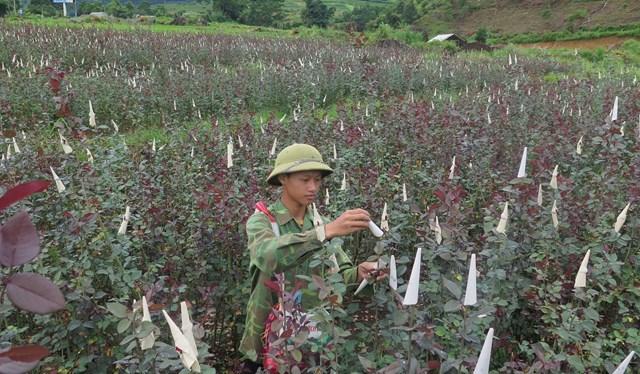 Mô hình trồng hoa hồng của nông dân Lai Châu cho hiệu quả kinh tế cao.