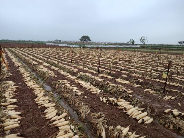 Do không bán được nên ông Thuận nhổ bỏ cả ruộng củ cải phơi trắng cả một góc đồng.