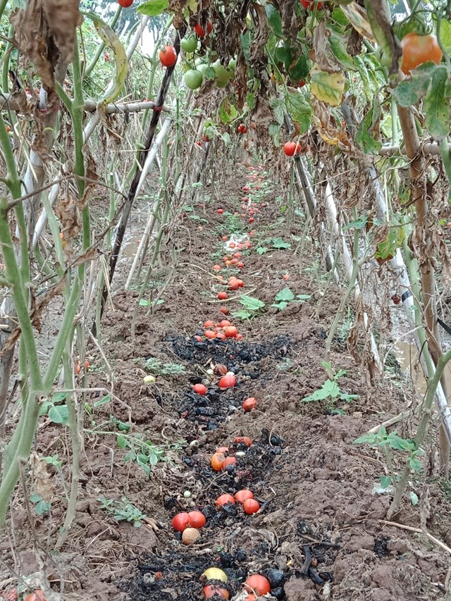 Hà Nội: Nông dân vứt rau củ trắng đồng do không có người mua - Ảnh 6