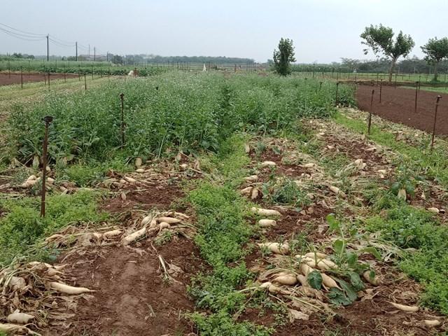 Hà Nội: Nông dân vứt rau củ trắng đồng do không có người mua - Ảnh 3