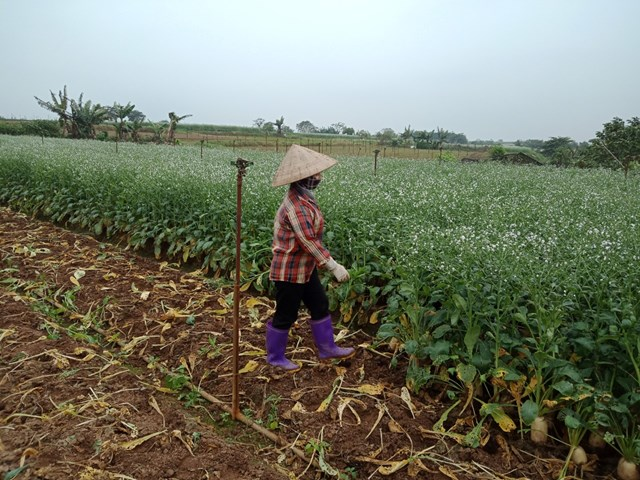 Hà Nội: Nông dân vứt rau củ trắng đồng do không có người mua - Ảnh 1