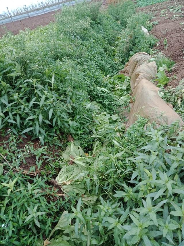 Hà Nội: Nông dân vứt rau củ trắng đồng do không có người mua - Ảnh 5