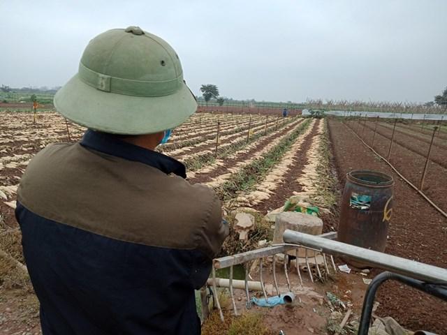 Người đàn ông đứng trầm tư bên ruộng củ cải vừa mới nhổ bỏ.