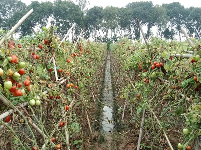 Những người trồng cà chua cũng chịu cảnh tương tự. Do giá cà chua giảm mạnh xuống còn 1.000 đồng/kg, thậm chí 500 đồng/kg nhưng vẫn không có người mua nên nhiều người dân để lại trên ruộng, không thu hoạch.