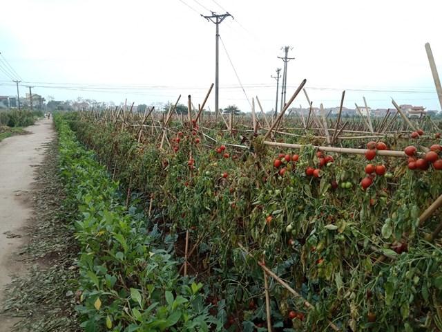 Do không có người mua, cà chua chín nhiều nên bà con cũng không thu hoạch.