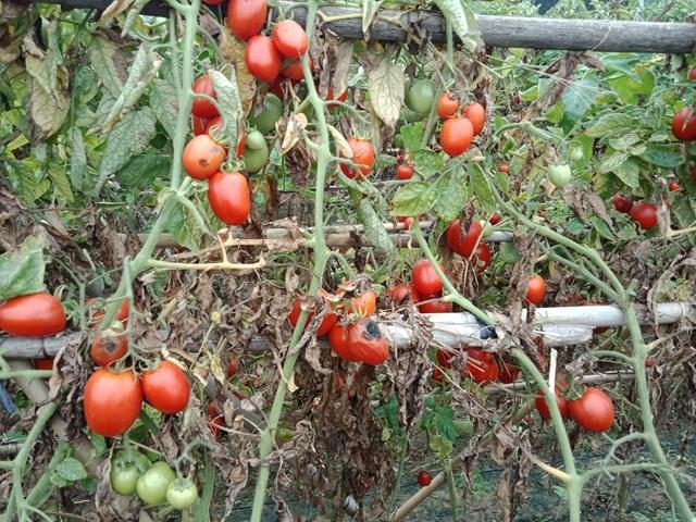 Do vụ mướp sắp đến nên cô Hoàn phải trồng mướp xen kẽ, mướp bắt đầu lên cao nên buộc phải cắt bỏ cà chua để chuẩn bị cho vụ mới.