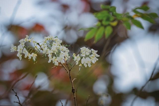 Hà Nội đẹp dịu dàng giữa màu trắng hoa Sưa  - Ảnh 3